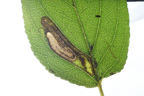 Stigmella catharticella mine on Rhamnus cathartica