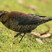 Rusty Blackbird by orencobirder