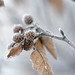Small photo of Frozen Alder Cones