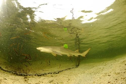 上標後的小鯊。圖片提供:陳餘鋆老師