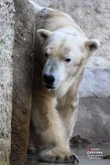 Polar Bear Yoghi et al 2014_01_15