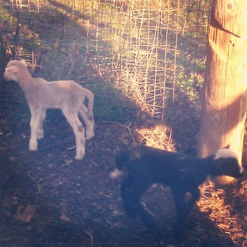 Babies! #sacramentowaldorfschool #waldorf #farm #baby #sheep