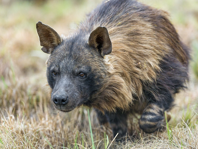 Walking brown hyena