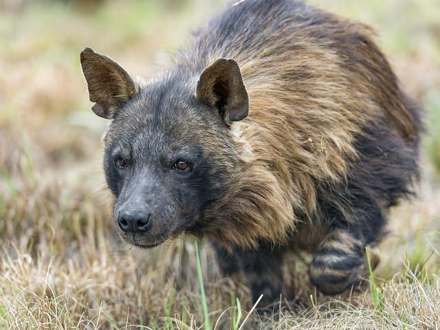 Walking brown hyena