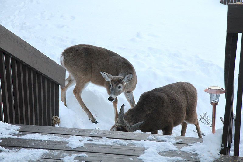 deer at steps2