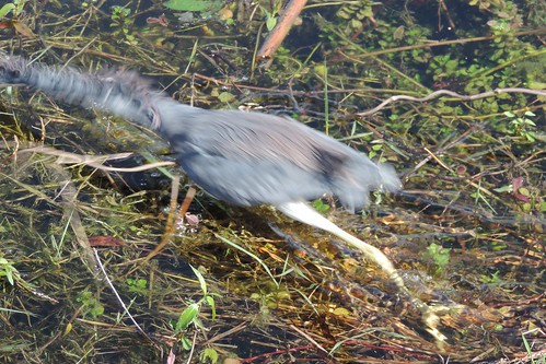Tri-colored Heron lunging
