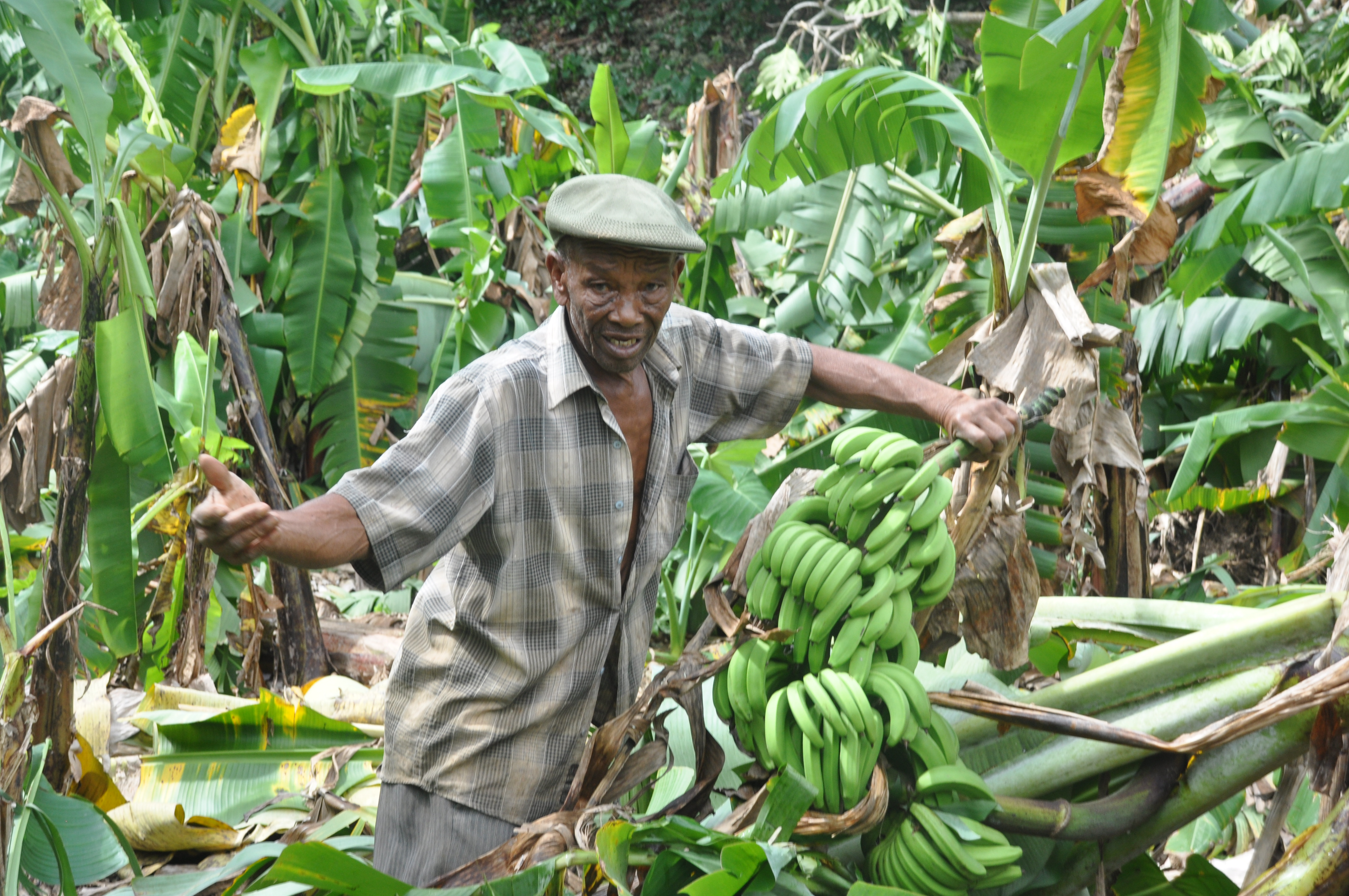 The Race to Save the Caribbean's Banana Industry | Inter Press Service