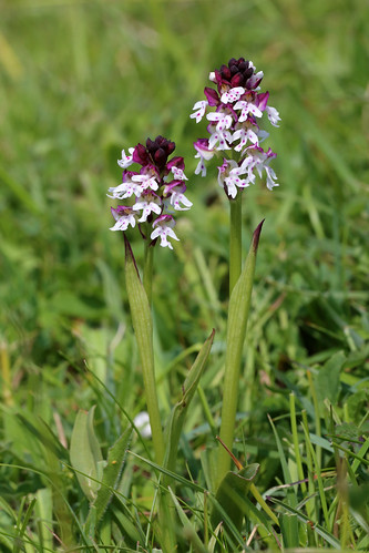 Burnt Tip Orchid, Neotinea ustulata