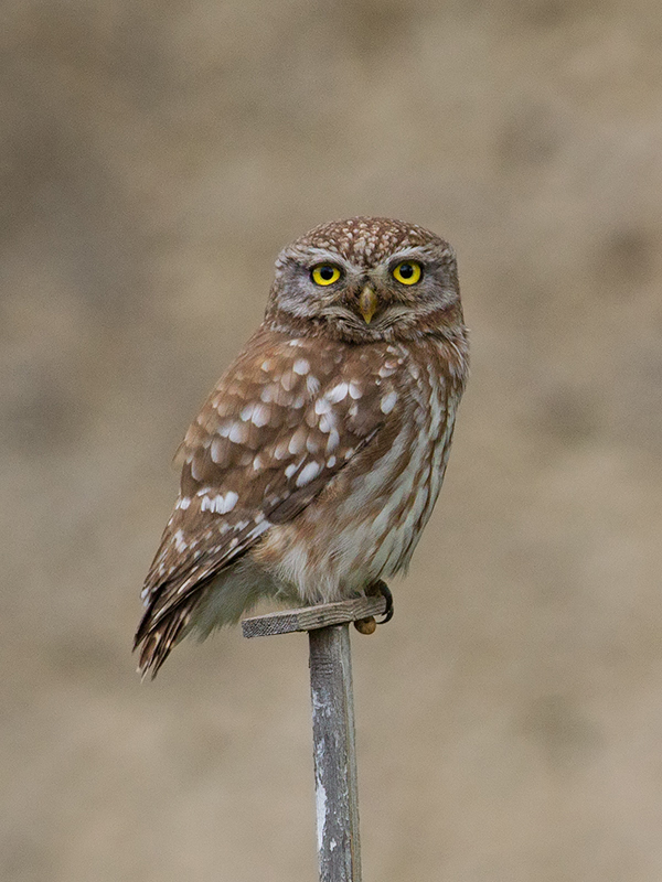 Little Owl 2014-05-01
