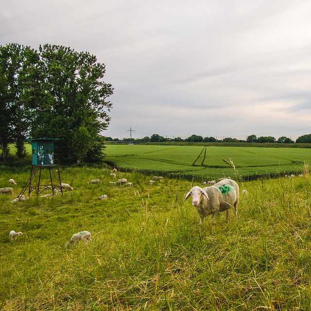[082] Sheep