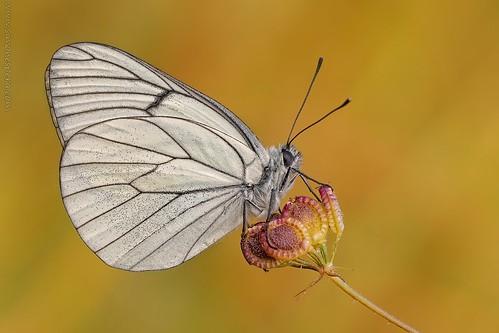 Aporia crataegi (Linnaeus, 1758) DSC_0963_2014-05-30_06-05-58
