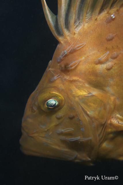 parasite infested John dory (zeus faber)
