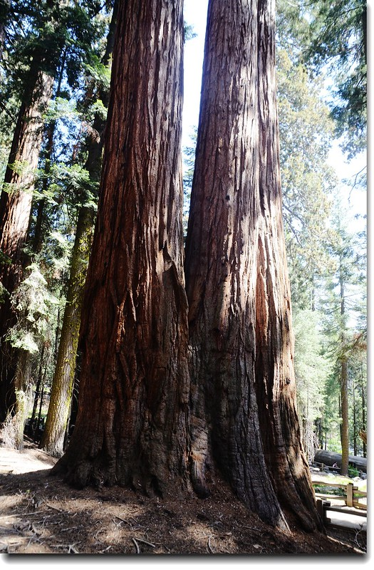 Giant Forest, Sequoia National Park 1