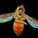 Hoverfly (Toxomerus marginatus). Hickory, PA by Macroscopic Solutions