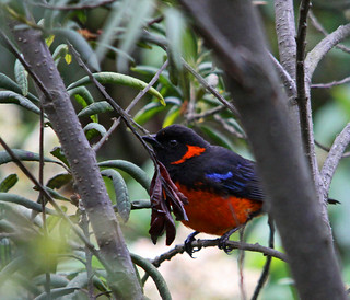 Scarlett-bellied Mountain-Tanager