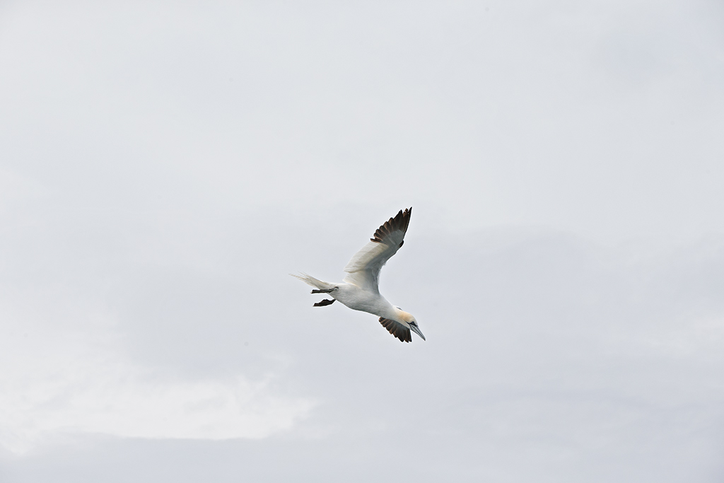 Gannet 102 mm