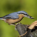Picchio muratore - Nuthatch by pas.sionphoto