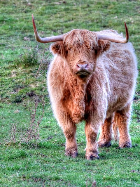 Highland Cattle, Canon EOS 750D, Canon EF 70-300mm f/4-5.6L IS USM