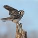 Chouette épervière / hawk owl by Simon Théberge