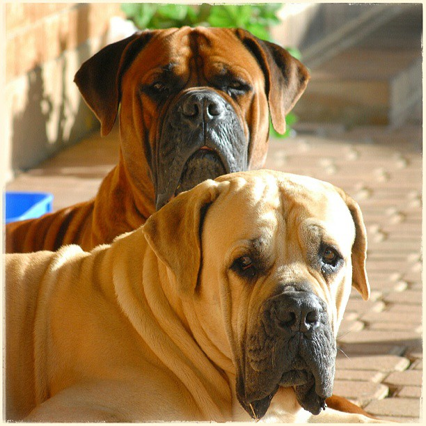 Boerboels Robin and Sly