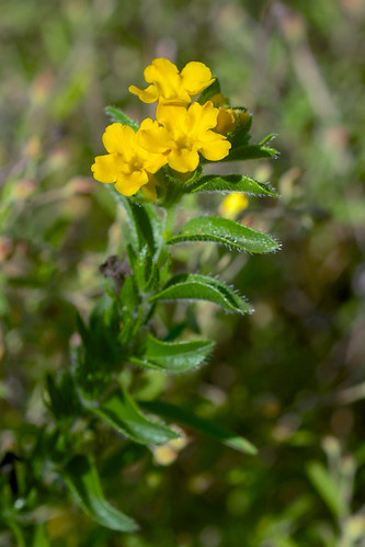 flower yellow boraginaceae lithospermum carolinapuccoon lithospermumcaroliniense