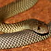 King Brown Snake (Pseudechis australis) by cowyeow