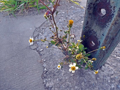 florcitas de amor seco