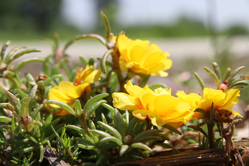 portulaca_yellow
