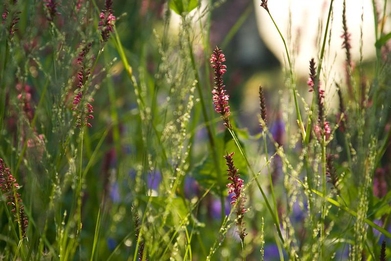 persicaria firetail