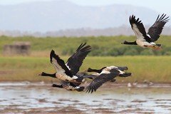 Magpie Geese 5585