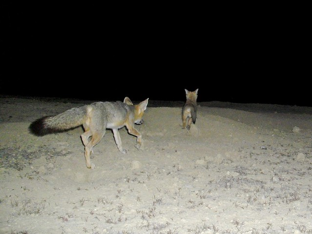 sj kit foxes