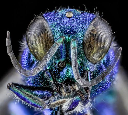 Chrysidid Wasp, U, Face, UT, Utah County_2013-08-09-16.56.13 ZS PMax