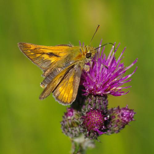 fauna butterfly estonia pentax eesti k7 ochlodesvenata soomaa liblikas soomaarahvuspark pentaxk7 niidupunnpea tipuküla