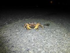 還有機會當媽媽的毛足圓軸蟹。(圖片來源:墾丁國家公園管理處提供)