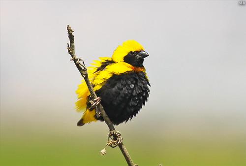Bispo-de-coroa-amarela (Euplectes afer)