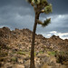 joshua tree under a stormy sky by jody9