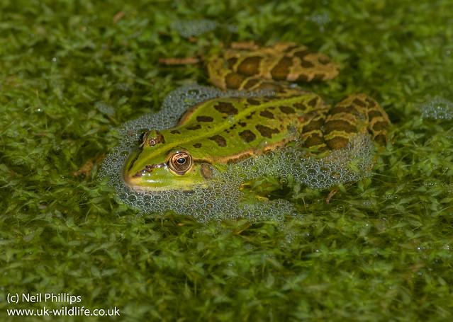 marsh frog-2