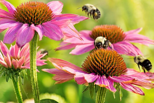 Bees, Bee, Flowers, Purple, Cone Flowers