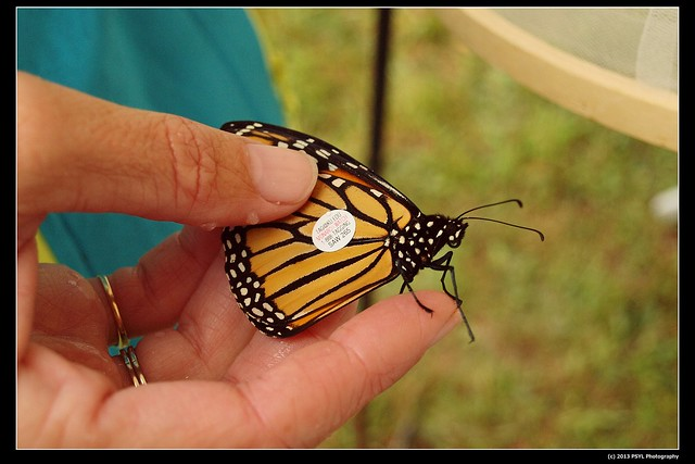 Captive-bred Monarch butterfly (Danaus plexippus) to be released