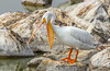 American White Pelican by Allan Hack