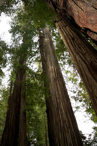Tall Trees--Redwoods