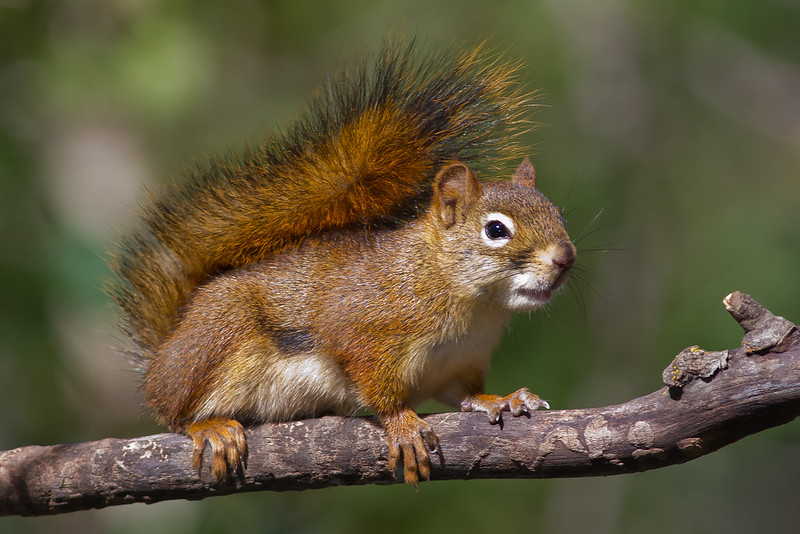 American red squirrel (Tamiasciurus hudsonicus) by Morningsymphony