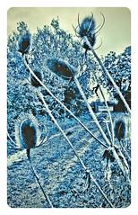 Teasels at Cossington Meadows LRWT #cossingtonmeadows#LRWT#camera+ by davidearlgray