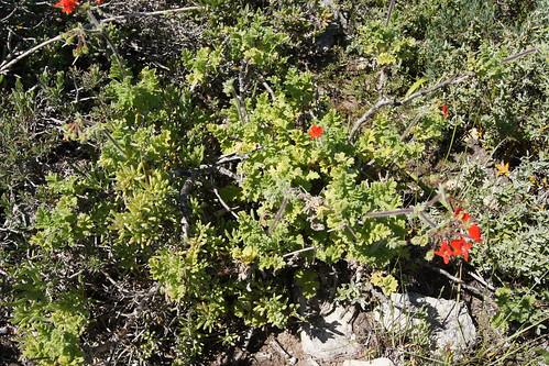 P.fulgidum, a plant, Jacobs Bay