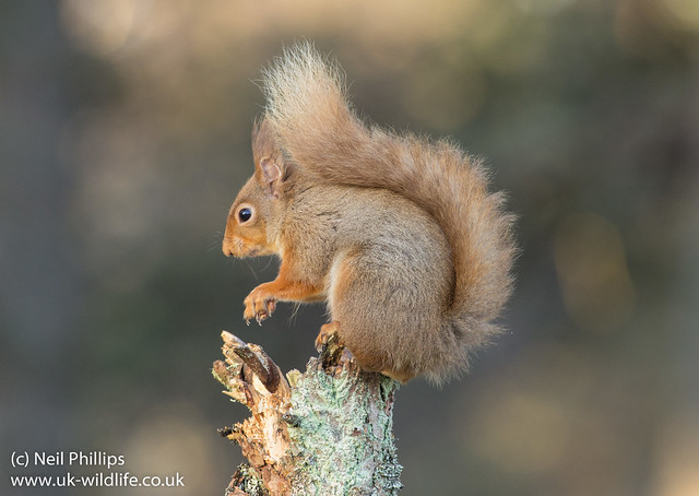 red squirrel-3