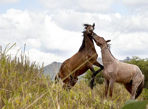 Horses having a scrap