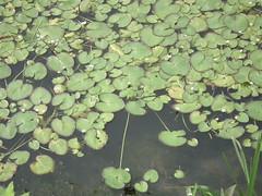野蓮池活躍的生態,說明了阿銘對環境的理念。圖片來源:曾昭銘