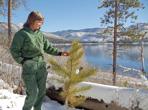 Gretchen Fitzgerald, forester on the San Juan National Forest in Colorado, checks the health of an eight-year-old ponderosa pine that has regenerated naturally on burned slopes west of Vallecito Reservoir. Some of the national forest where natural regeneration is lacking across the reservoir behind her will be replanted in 2015. (U.S. Forest Service/Ann Bond)