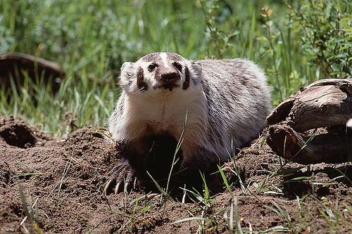 Wildlife in British Columbia, Canada: American Badger