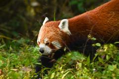 animal(1.0), red panda(1.0), mammal(1.0), fauna(1.0), whiskers(1.0), wildlife(1.0),